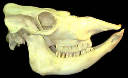 التغذية عند skull.jpg